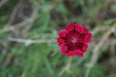 Röd hibiskus som är främst av en grön backgound arkivfoto