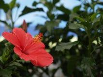 Röd hibiskus vid stranden royaltyfri fotografi