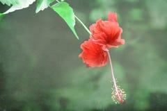 Röd hibiskusblomma Royaltyfria Bilder