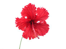 Röd hibiskusblomma Arkivfoto