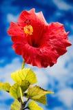 Röd hibiskusblomma Arkivfoton