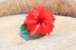 Röd hibiskusblomma Royaltyfri Fotografi