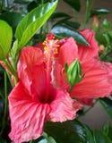 Röd hibiskusblomma Fotografering för Bildbyråer