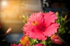 Röd hibiskusblomma Arkivbilder