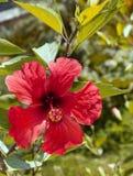 Röd hibiskusblomma exotisk blomma Arkivbilder
