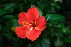 Röd hibiskusblomma i trädgård Fotografering för Bildbyråer