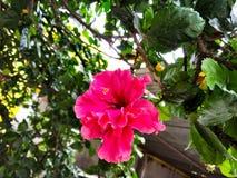 Röd hibiskusblomma också som är bekant som den Arhul blomman i hindi arkivfoto