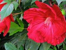Röd hibiskusfamiljMalvaceae arkivbild