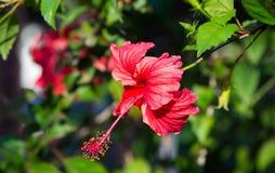 Röd hibiskusrosa sinensis arkivbild