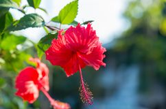 Röd hibiskusrosa sinensis royaltyfria foton