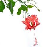 Röd hibiskusschizopetalusblomma Royaltyfri Bild
