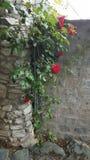 Röd historisk oldtown för rosor Arkivfoton