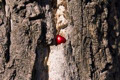 Röd hjärta i ett torrt träd royaltyfria bilder