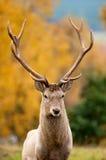 Röd hjortfullvuxen hankronhjort Royaltyfria Bilder