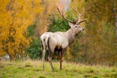 Röd hjortfullvuxen hankronhjort Arkivfoto