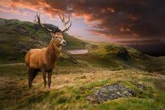 Röd hjortfullvuxen hankronhjort i dramatisk bergliggande Arkivbilder