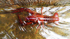 Röd hummer i den grunda floden Royaltyfria Foton
