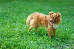 Röd hund Royaltyfri Fotografi