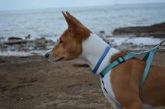 Röd hund Basenji på stranden Fotografering för Bildbyråer