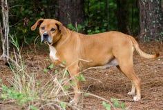 Röd hund för avel för hundmastiffblandning royaltyfri fotografi