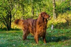 Röd hund för irländsk setter i grön skog arkivfoton