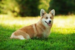 Röd hund för welsh corgipembroke utomhus på grönt gräs Arkivbilder