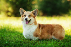 Röd hund för welsh corgipembroke utomhus på grönt gräs Royaltyfri Bild