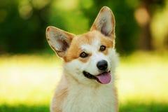 Röd hund för welsh corgipembroke utomhus på grönt gräs Arkivfoto