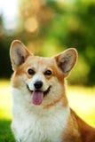 Röd hund för welsh corgipembroke utomhus på grönt gräs Royaltyfri Fotografi