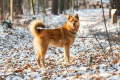 Röd hund i skogen fotografering för bildbyråer