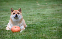Röd hund med pumpa Royaltyfria Bilder