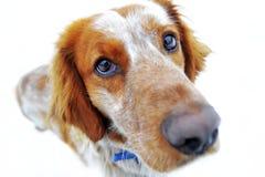 Röd hund som ser kameran Arkivbild