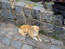 Röd hund som ser kameran arkivbilder