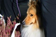 Röd hundavelcollie för en gå royaltyfri bild