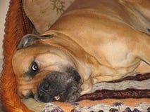 Röd hundbullmastiff som ligger på soffan arkivfoto