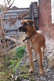 Röd hundcloseup Fotografering för Bildbyråer