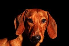Röd hundstående av ett årssymbol på en svart bakgrund arkivbilder