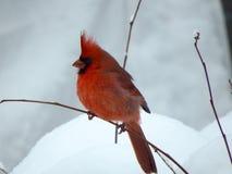 Röd huvudsaklig fågel på en filial med vit snö arkivbild