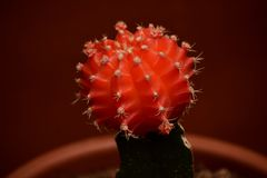 Röd inympad kaktus arkivbilder