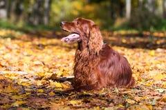 Röd irländsk setterhund Royaltyfri Bild