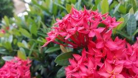 Röd Ixora blomma Royaltyfri Foto