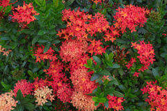 Röd Ixora blomma Royaltyfri Fotografi