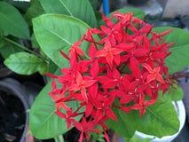 Röd Ixora blomma Arkivbild