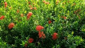Röd Ixora blomma i den offentliga trädgården Royaltyfria Foton