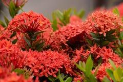 Röd Ixora blomma i trädgård på Thailand. arkivbilder