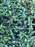 Röd Ixora coccinea och gångbana arkivbild