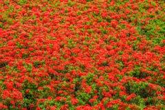 Röd Ixora för tropiska blommor coccinea Arkivbild