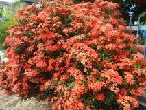 Röd ixorablomma på trädet Royaltyfria Foton