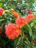 Röd ixorablomma på trädet Royaltyfri Bild