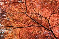 Röd japan Momiji i nedgång Royaltyfri Foto